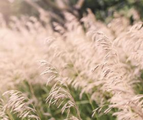Summer Wheat Fields Stock Photo