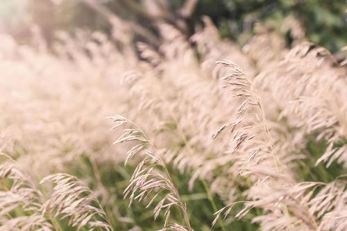 Summer Wheat Fields Stock Photo