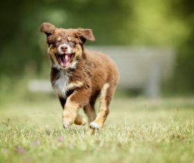 The dog leaps and runs on the grass Stock Photo