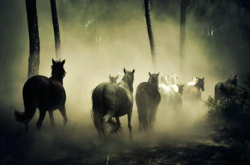 The horses running in the forest pick up the dust Stock Photo