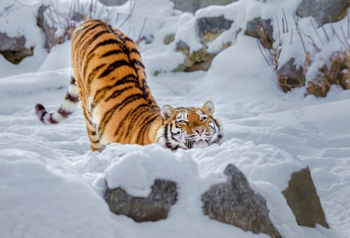 Tiger playing in the snow Stock Photo