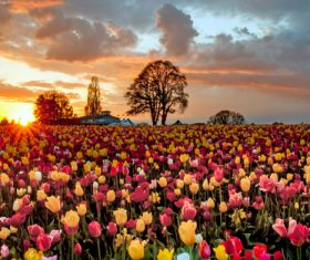 Tulip flower sea sunset Stock Photo