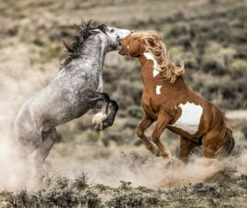 Two horses fighting Stock Photo