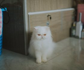 White long-haired Persian cat sitting in the corner Stock Photo