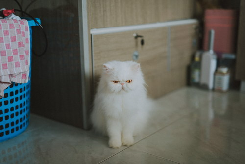 White long haired Persian cat sitting in the corner Stock Photo