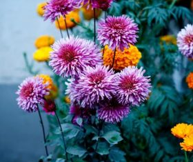 Yellow and purple daisy Stock Photo