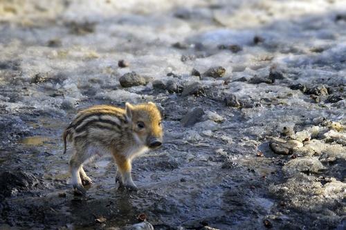 baby animals pig Stock Photo