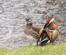 mandarin duck Stock Photo 01