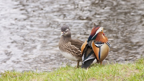 mandarin duck Stock Photo 01
