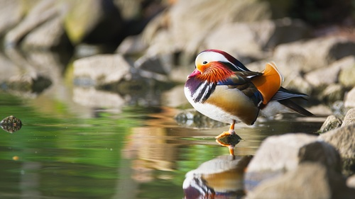 mandarin duck Stock Photo 04