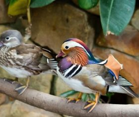 mandarin duck Stock Photo 05