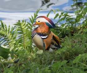 mandarin duck Stock Photo 06