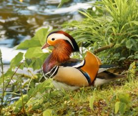 mandarin duck Stock Photo 07
