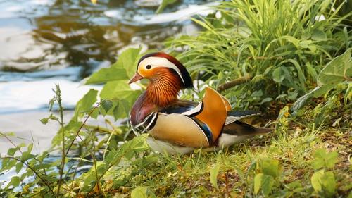 mandarin duck Stock Photo 07