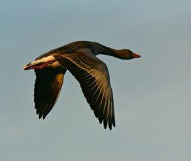 Aerial flight of wild goose close-up Stock Photo