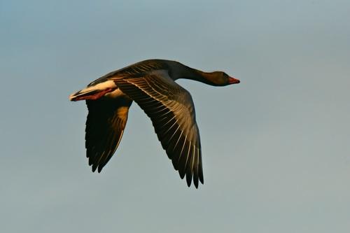 Aerial flight of wild goose close up Stock Photo
