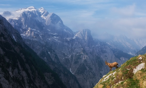 Alpine sheep Stock Photo