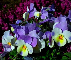 Beautiful grimace flowers Stock Photo