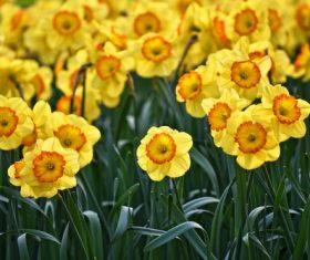 Beautiful yellow daffodil bloom Stock Photo
