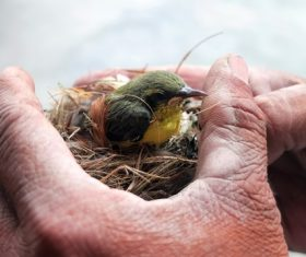 Birds nest and bird in hand Stock Photo