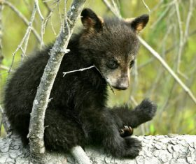 Black bear cub sitting on tree trunk Stock Photo