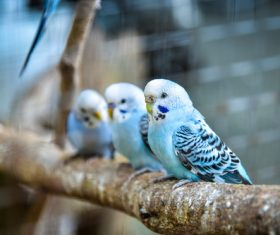 Budgerigar on branch Stock Photo