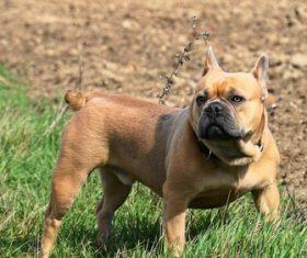 Bulldog on the grass Stock Photo