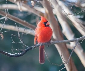 Cardinal birds on branches Stock Photo