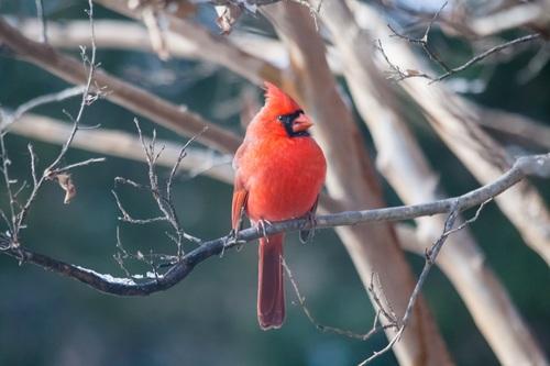 Cardinal birds on branches Stock Photo