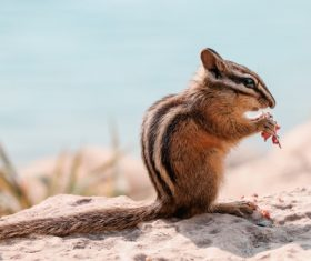 Chipmunk eating food Stock Photo