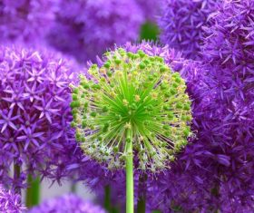 Close-up of violet flower heads Stock Photo