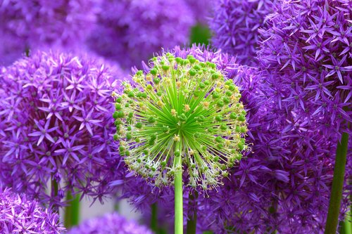 Close up of violet flower heads Stock Photo