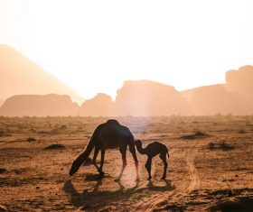 Desert camel mother and child Stock Photo