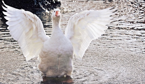 Duck flapping its wings in the water Stock Photo