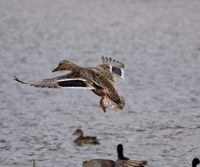 Ducks fly up Stock Photo