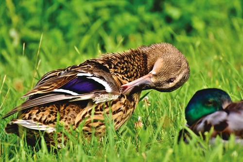 Ducks tidying feathers on the grass Stock Photo