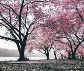 Early spring blooming cherry tree Stock Photo