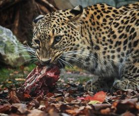 Eating food leopard Stock Photo