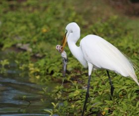 Egret preying Stock Photo 01