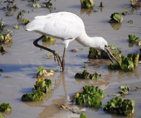Egret preying Stock Photo 02