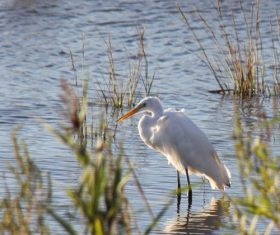 Egret preying Stock Photo 03