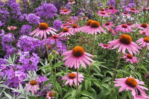 Garden Echinacea Stock Photo