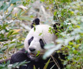 Giant panda in tussock Stock Photo