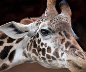 Giraffe head close-up Stock Photo