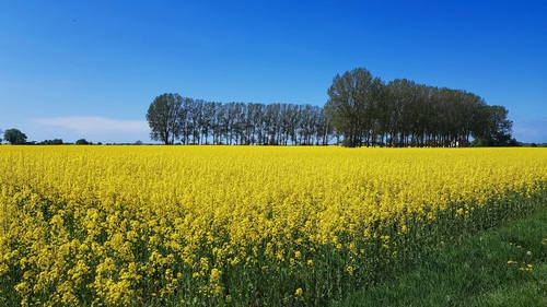 Golden rapeseed field Stock Photo