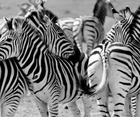 Gray photo zebra Stock Photo