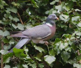 Gray pigeon standing on grapevine Stock Photo