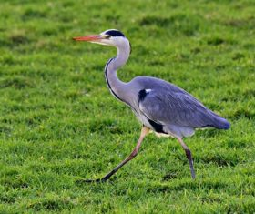 Great Blue Heron on the grass Stock Photo