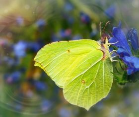 Green butterfly on blue flowers Stock Photo