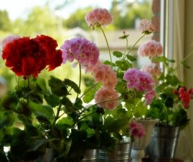 Indoor flowers geranium Stock Photo